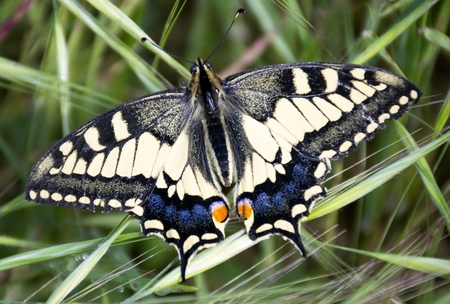 Details of a wild swallowtail butterfly and green grass
