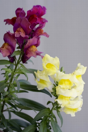 Details of colorful snapdragon flowers with green leaves