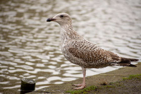 Close up of wild young seagull and water reflections