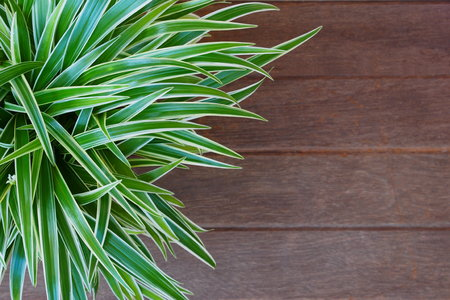 wood spider: Spider Plant with Green & white slender leaf on an old wood board