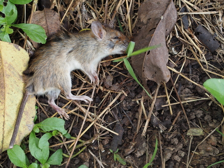 dead rat: Carcass of dead rat are eaten by ants Stock Photo