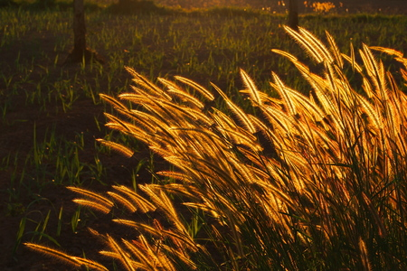 swaying: Swaying bright golden grass flower in when the sunset in the evening