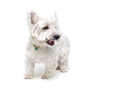White terrier isolated on white background   photo