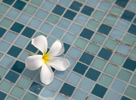 White frangipani flower on the water surface. photo
