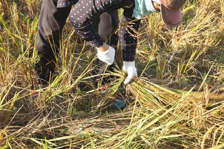 harvests: farmer harvests rice in field Stock Photo