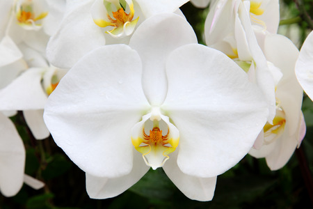 beautiful white orchid flower