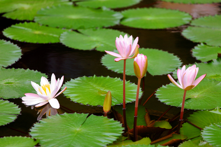 magnificent pink lotus with green leaves blooming in the water surface