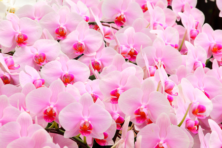 The group of beautiful pink tropical orchid flower background Banco de Imagens