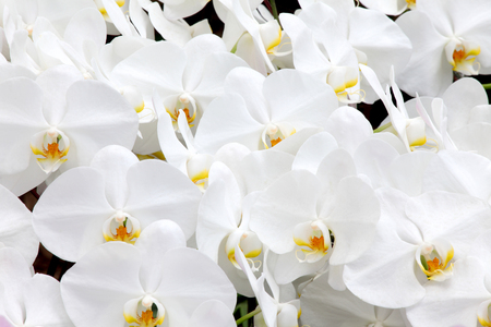The group of beautiful white tropical orchid flower background Banco de Imagens