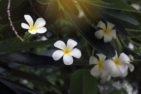 closeup of white plumeria flower with green leaves