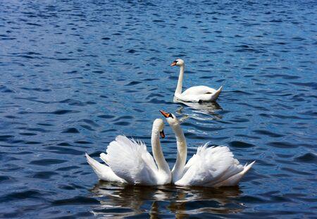 Three swans photo