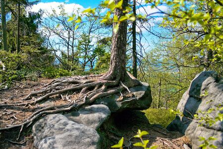 Spruce tree in the ROCK LABYRINTH, on cragged rocks in Sudetes  Poland