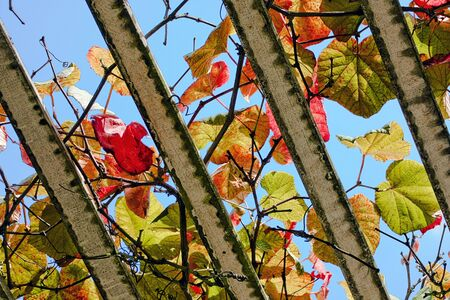 Big colorful autumn grapevine leaves
