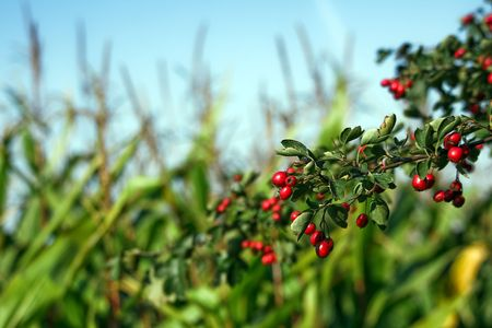 Dark red Hawthorn fruits branch against the green corn field Stock Photo