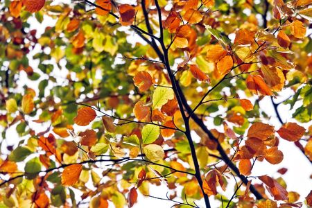 Colorful Fall tree leaves. Orange, green and yellow.