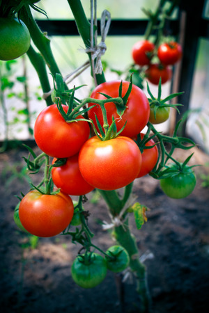 Home grown tomatoes in a greenhouse Stock Photo
