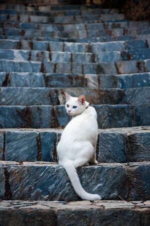odd: White odd eyed cat sitting on stairs. Heterochromia Iridum Editorial