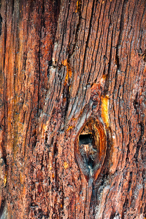hollow tree: Wooden background of aged tree trunk. Hollow