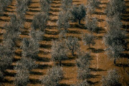 Olive tree in the field, a typical Tuscany landscape Reklamní fotografie