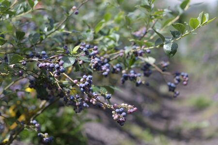 Ripe Blueberries ready for picking in Hawkes Bay, New Zealand