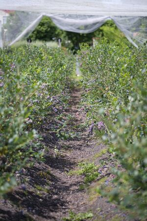 Ripe Blueberries ready for picking from farm