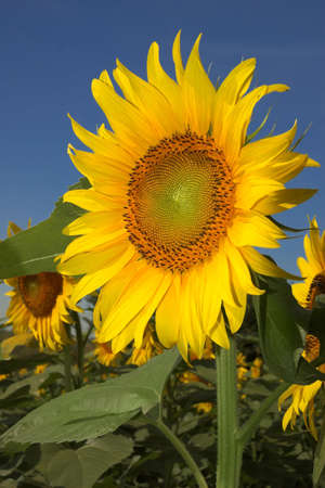 golden sunflower fills the frame against a blue sky