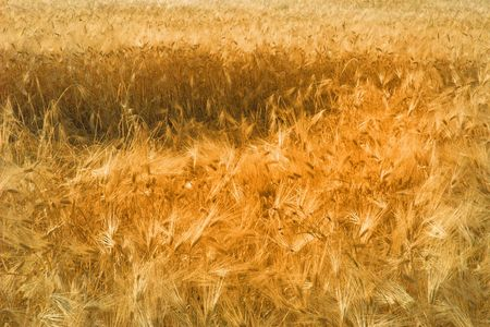 bacground image - golden tone wheat field in the wind Stock Photo - 798209