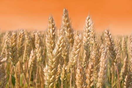 bacground image - warm tone wheat field in the wind Stock Photo - 798210