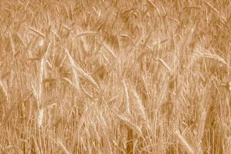 bacground image - sepia tone wheat field in the wind