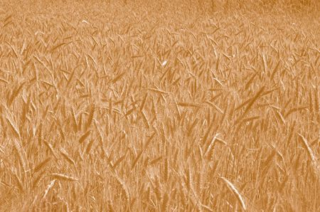 Field of Wheat in Warm tone