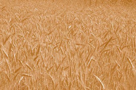 Field of Wheat in Warm tone