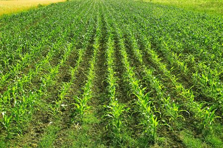 Corn Field - Rows of Corn
