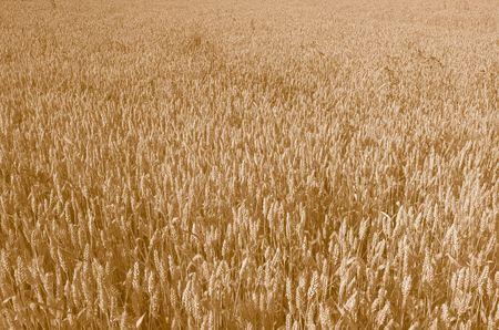 Field of Wheat in Sepia tone