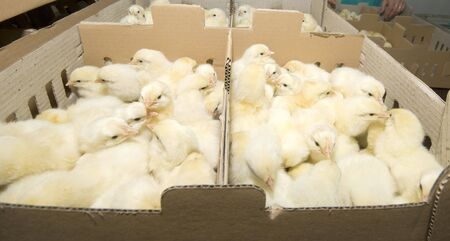 Chicken farm production