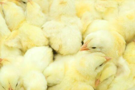 Yellow chickens Stock Photo