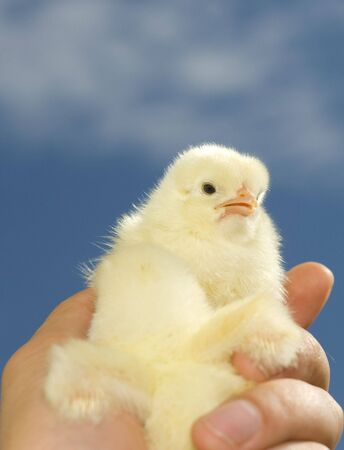Lovely little easter chick, only 24 hours old