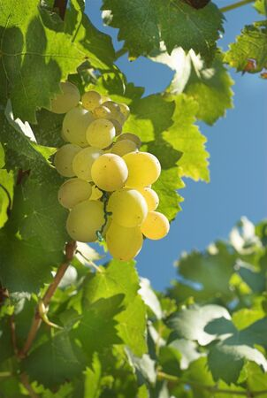 Close-up of green grapes on grapevine in vineyard Stock Photo