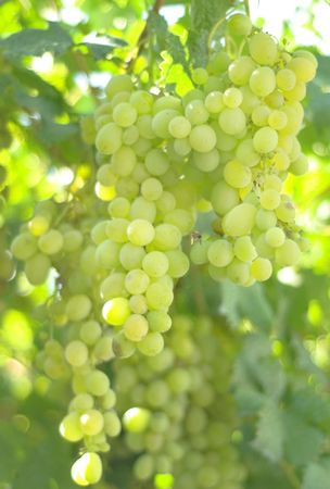 Branch with yellow grape