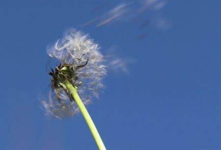 Intensive blowing of dandelion seed against the blue sky Stock Photo