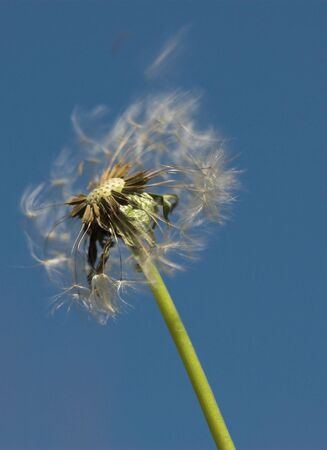 Dandelion seed spread by the wind Stock Photo