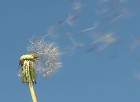 Dandelion seed intensive blowing in the wind
