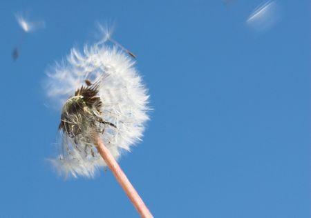 Dandelion blowing Stock Photo - 5280779