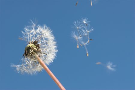 Dandelion and the seeds photo
