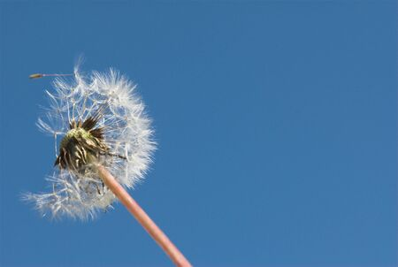 Dandelion on the wind against the blue sky Stock Photo