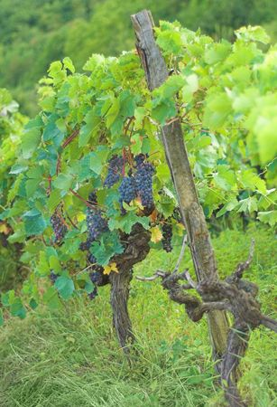 Merlot grapes on the branch