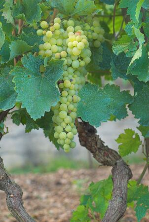 Chardonnay Grapes on Vine in Vineyard Stock Photo - 2883968