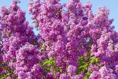 lilac bush pink against the blue sky Banque d'images