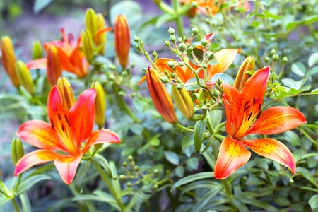 lemony: orange lilies blooming on a bed of flowers Stock Photo