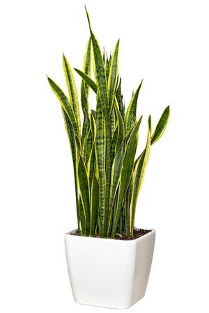 냄비 큰 흰색의 Sansevieriya 관엽 식물 흰색 배경에 고립