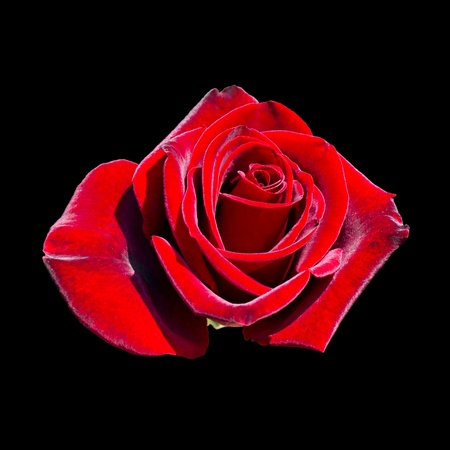 blooming red rose bud isolated on black background